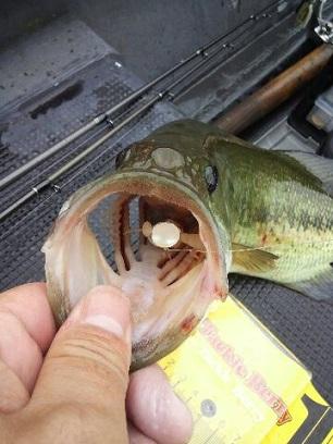 同じ魚です。丸呑みでした。