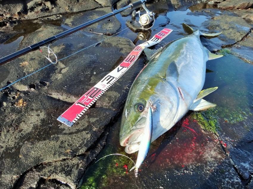 八丈島 ヒラマサ ロックショア 地磯からミノーで極太のデカマサ 17キロGET!!