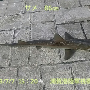 今日のサメは86cmだよ