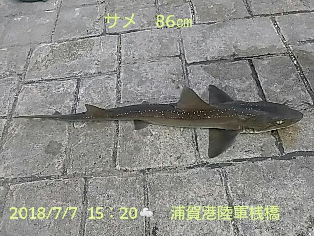 今日のサメは86cmの大物で、釣り友にもらったイワシの泳がせに掛…