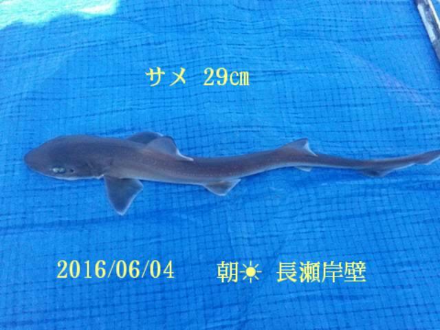 サメが釣れました。32種目です