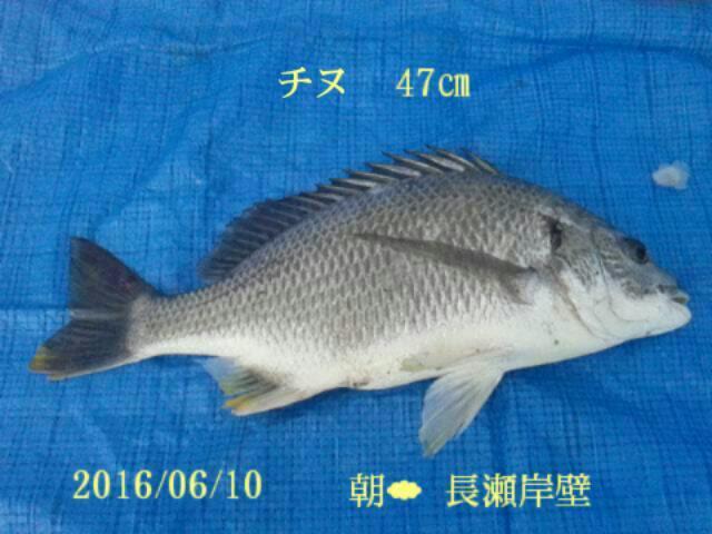 横須賀での釣果33種目は47センチのチヌでした。