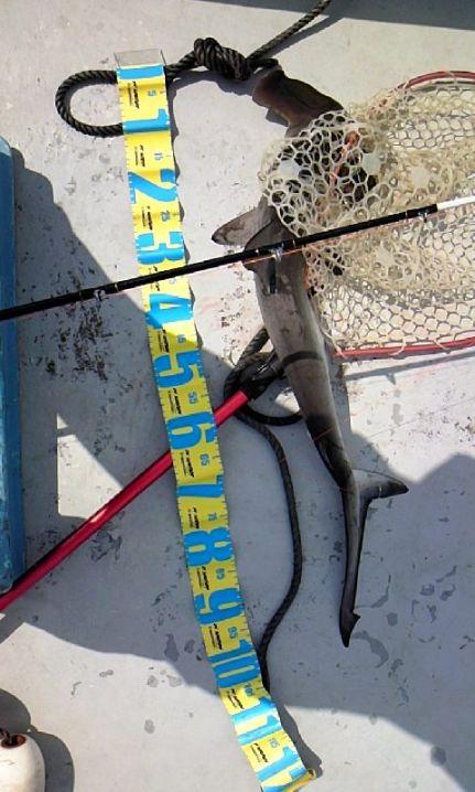 4月5日 紀伊長島 シュモクザメ1m かなりびびりながら撮ったの…