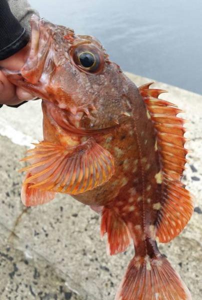春一番、アラカブ釣り