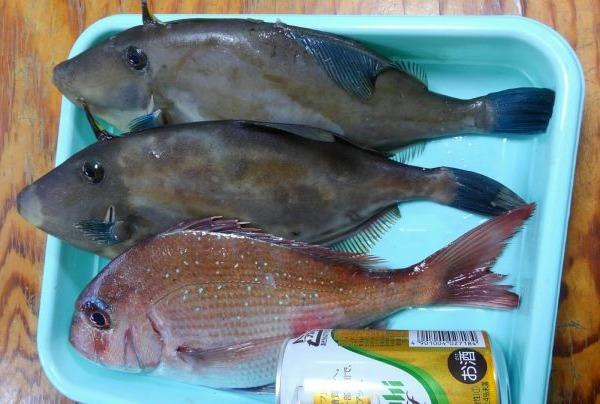 真鯛とウマズラハギ