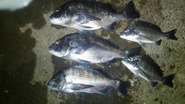 クロダイ 大漁(^-^)