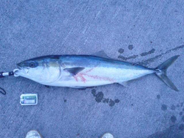 ショアから大ぶり102cm。ようやく釣れました♪