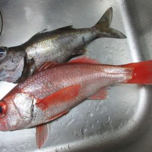 【アカムツ】2018年の初釣りは南房のアカムツ。