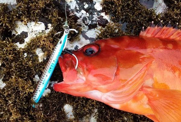 八丈小島でショアジギ 40upのアカハタ釣れた!