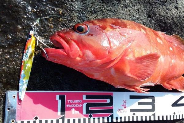 八丈島 地磯ルアー これはデカい ショアジギでアカハタ46cm!