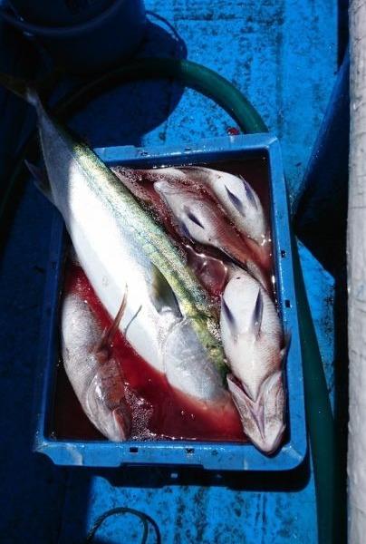 釣果5月13日午後便  ブリ2本 ワラサ3本 真鯛70センチまで9枚
