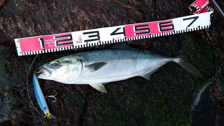 こちらはブリ(イナダ)66cm ヒットルアーは、いずれもマグナ…