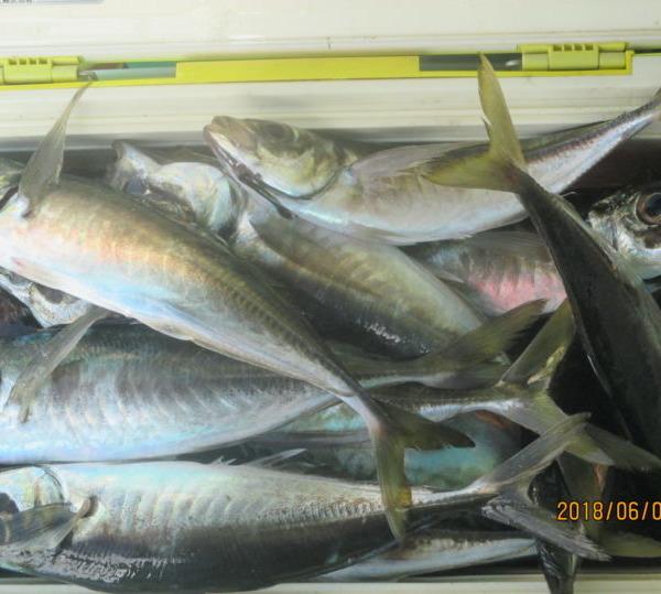 大サバ 入れ食いクーラー満タン スルメイカ、丸イカ