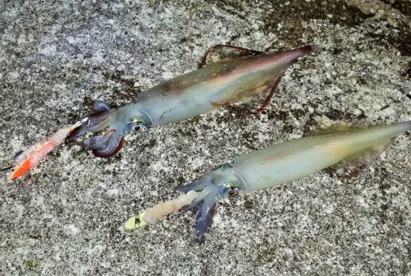 八丈島 陸っぱりでヤリケン(ケンサキイカ)の夜釣り!