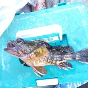 根府川ゴロタ浜リベンジ カサゴ釣れました