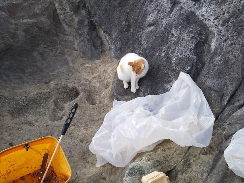 城ヶ島でアイゴ40cm
