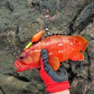 八丈島 冬も地磯でアカハタのウキ釣り!