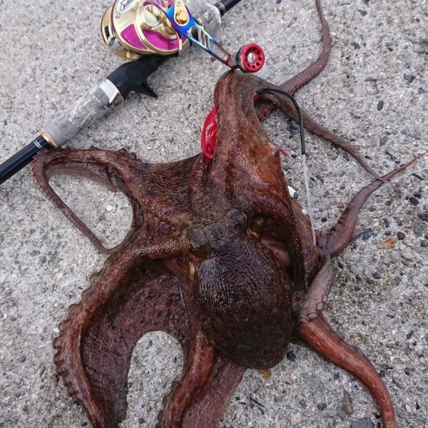 2020離島…初釣りで真蛸get‼️🤣🤣🤣