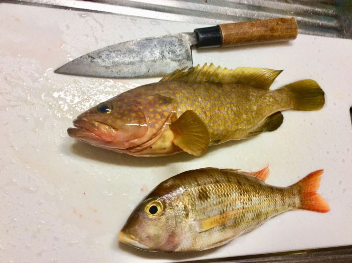 真鯛は 釣れませんでした。アコウとフエフキダイの子どもです。