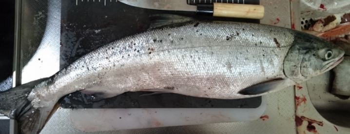 鮭釣り最高