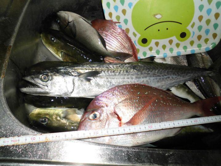 マダイとサゴシ、ニベにフグなど おいしい魚ばかりです(^^♪