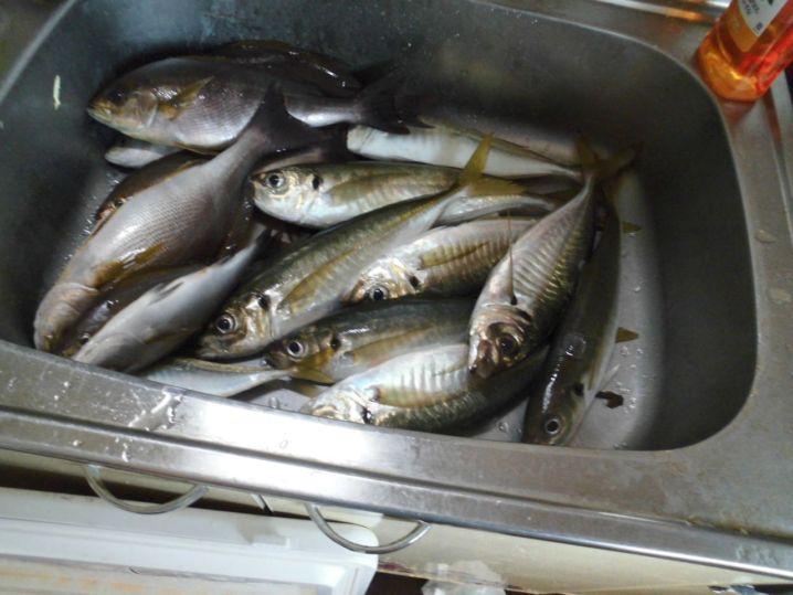 数は少ないですが良型アジが釣れました。他チダイ、メジナ、サバなど…