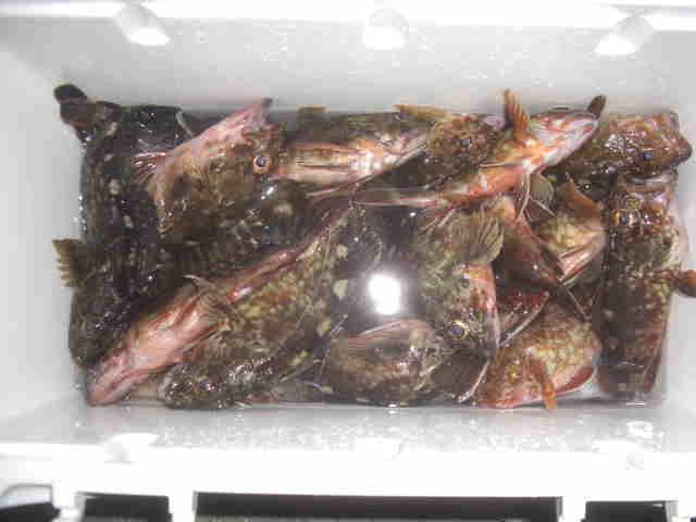 今回キープの魚はカサゴのみです。非常に分かりづらい画像ですが家に…