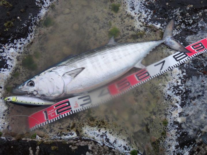 ショアからこのサイズの大型ハガツオが釣れるのは、八丈島くらいでし…