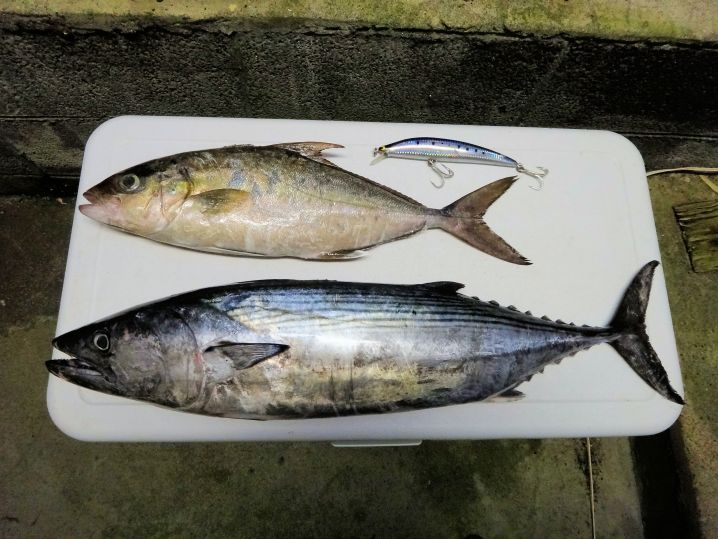 今日の朝まずめの釣果はヒレナガカンパチとハガツオ各1尾、ヒットル…