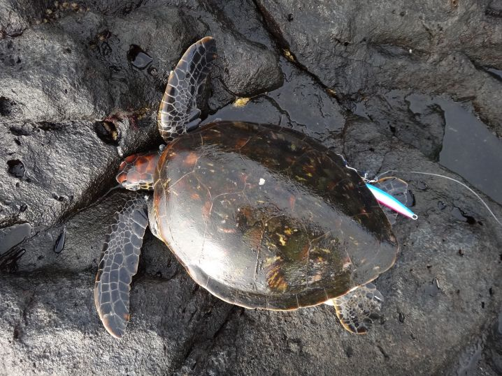 アオウミガメ 亀さんゴメン.. 八丈島まわりに非常に多く、たま…