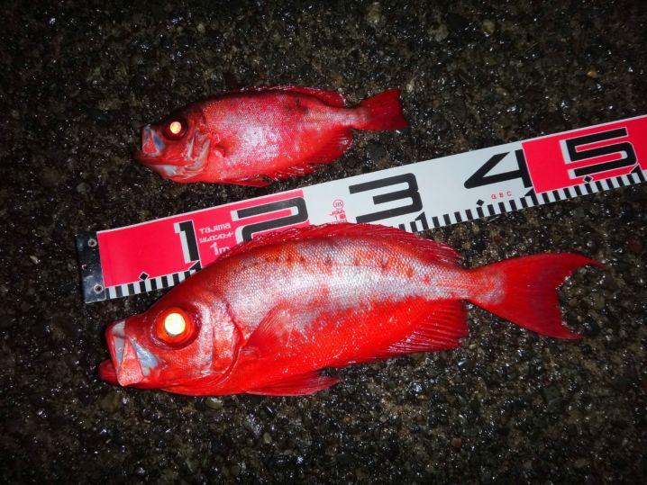 40UPは珍しいと思います。 小さい魚はゴマヒレキントキ。違い…