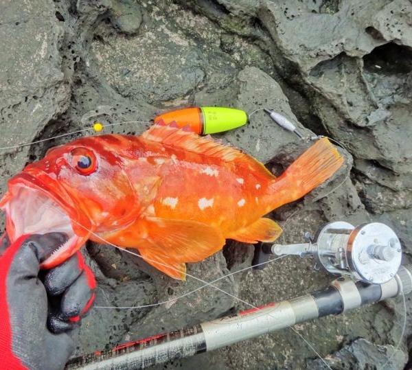 八丈島 アカハタをウキ釣りで狙ってみた!