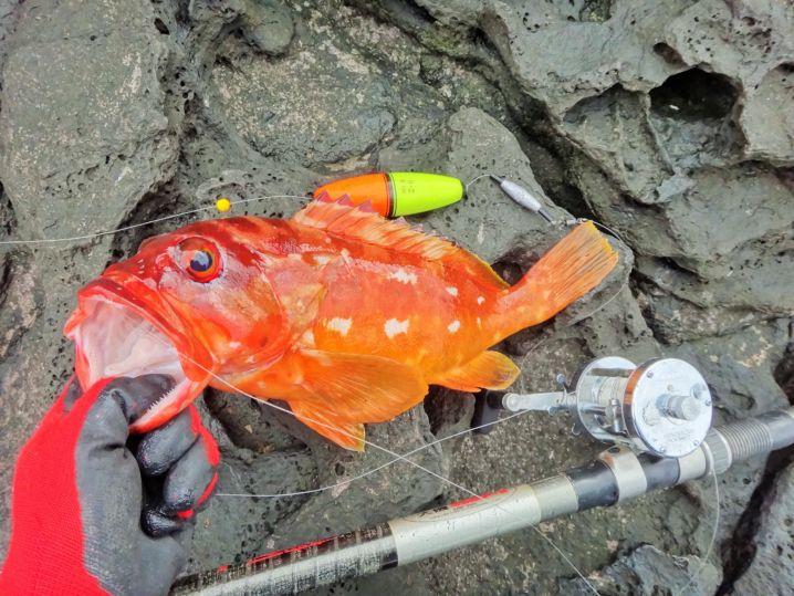 アカハタを身エサのウキ釣りで狙ってみた。 さっそく40cm、キ…