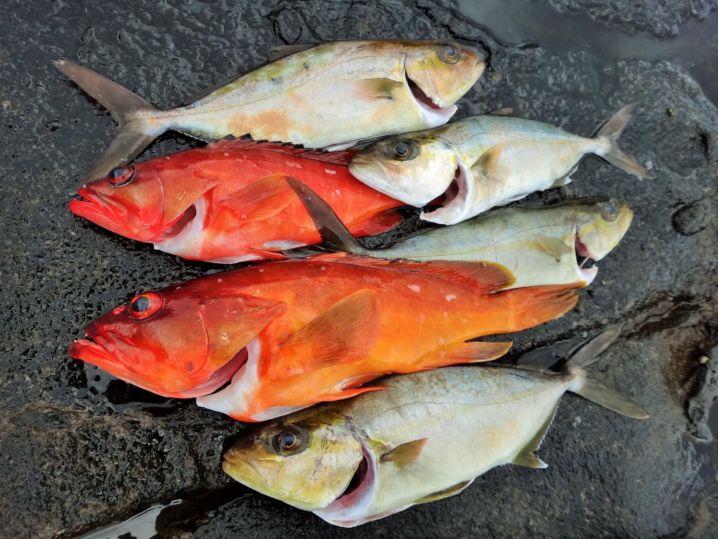 3時間の釣果。他に小さいアカハタ4尾リリース。 (うっかり魚さ…