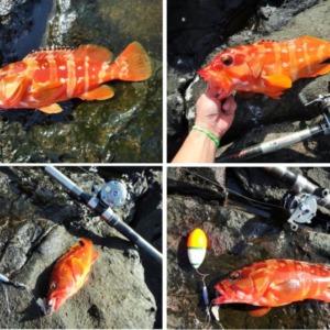 八丈島 初夏のアカハタ 地磯ウキ釣りで好釣果!