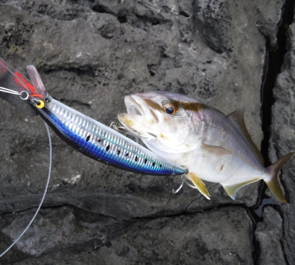 八丈小島 ショアジギ&プラッキングでショゴ(カンパチの子)が入れ食いだった!