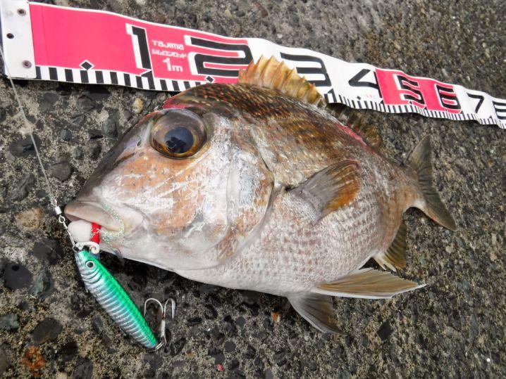 メイチダイ48cm 良型です。 メタルジグで釣れるとは思いませ…