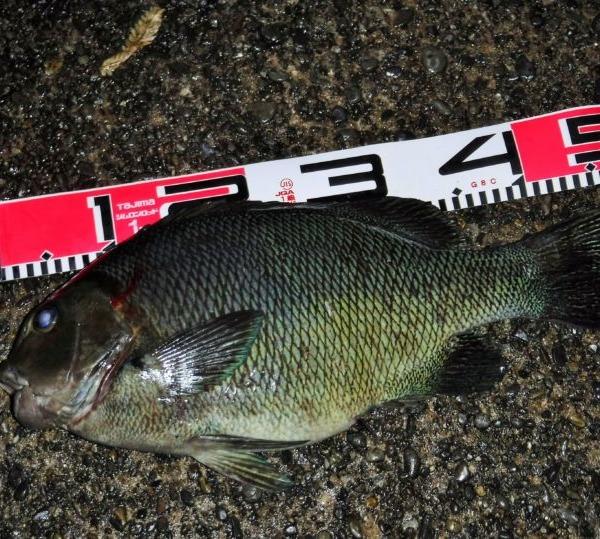 八丈島 今年の初釣りは オキナメジナ(ウシグレ)2キロ超 (^_^;)