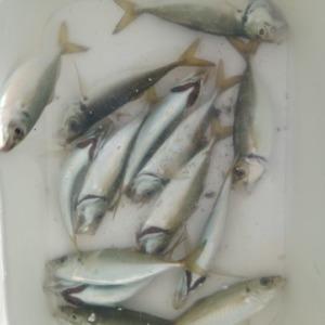 東京湾奥はアジ、サヨリ、サバ爆釣との噂なので行って来ました!!ちょっと小さいけどまずまず釣れました。