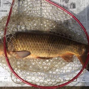 パンルアーで野鯉を釣りました