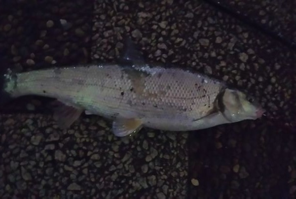 ルアーでマルタウグイが釣れました