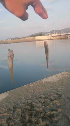 神奈川大磯 ハゼ釣り