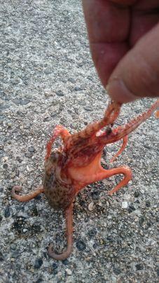これでも真蛸です😅