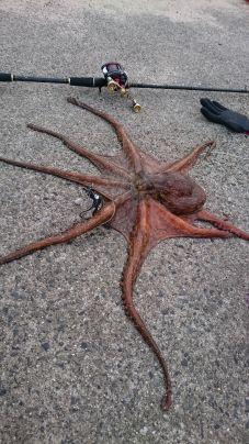 藻場で㌔overの蛸