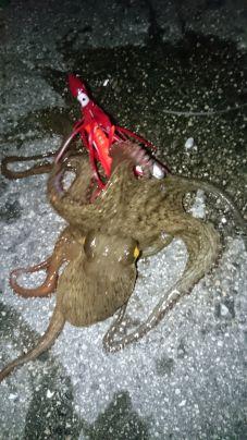 1月も後半‼海水温低下でも寒蛸は釣れますね(^^)v