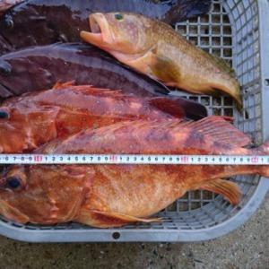 カサゴ、マハタ釣りました