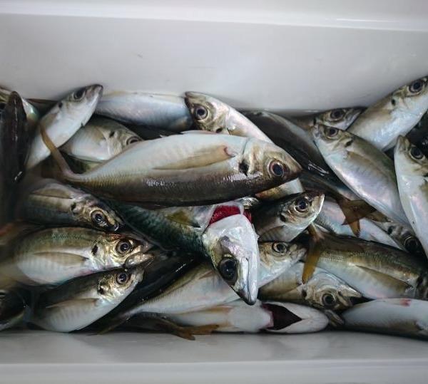 年度末🎵東京湾アジ釣り