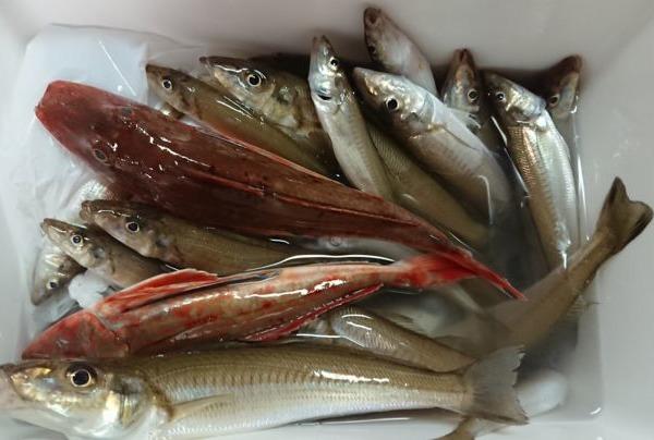久々に東京湾シロギス釣り