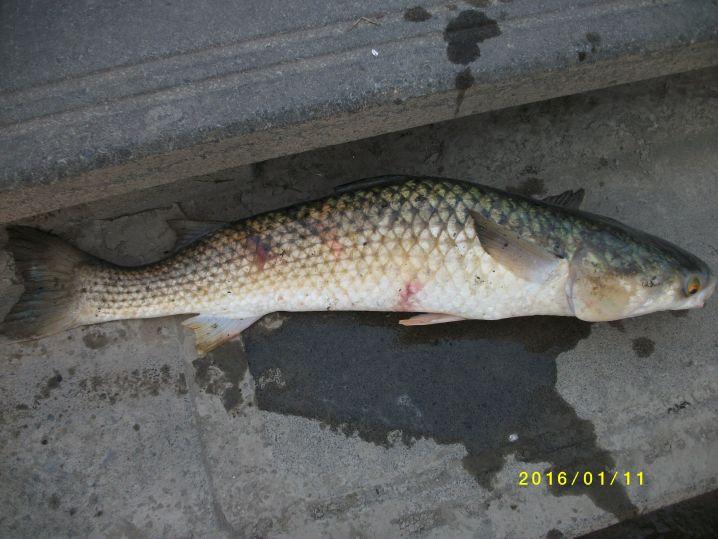 オオボラ、トド釣れました