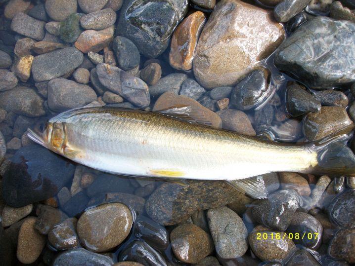 多摩川の鮎です